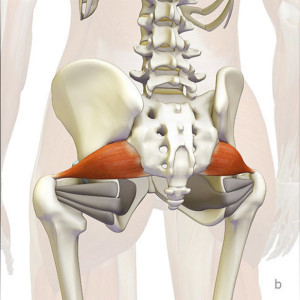 w583h583_349055-the-daily-bandha-the-piriformis-muscle-and-yoga-part-i