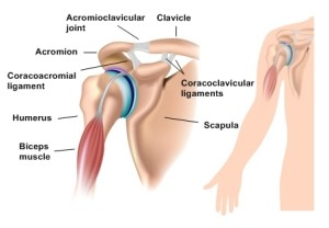 Shoulder anatomy with acromioclavicular joint, eps10